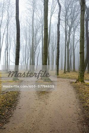 Forked path in coastal beech forest, Nienhagen, Westren Pomerania, Mecklenburg-Vorpommern, Germany