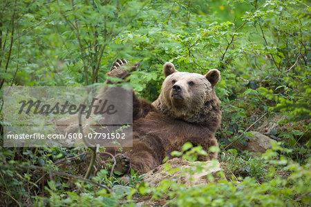 Eurasian Brown Bear (Ursus arctos arctos), Bavarian Forest National Park, Germany
