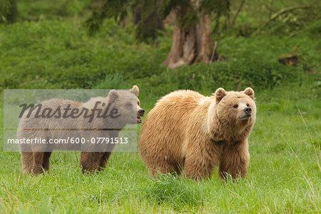 European Brown Bears (Ursus arctos arctos), Bavarian Forest National Park, Germany