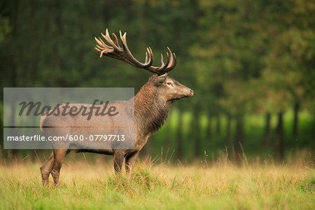 Red Deer (Cervus elaphus), Germany