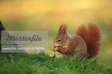European Red Squirrel (Sciurus vulgaris) with Hazelnut, Germany