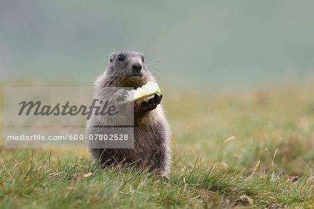 Young Alpine Marmot (Marmota marmota) Eating, Hohe Tauern National Park, Austria