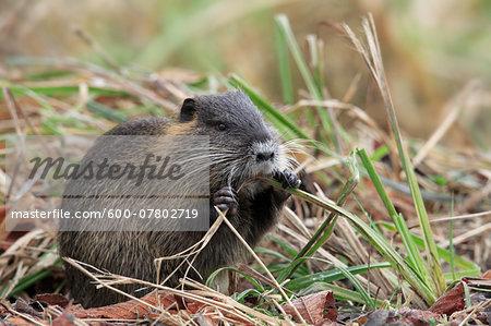 Coypu (Myocastor coypus) Chewing on Grass, Germany