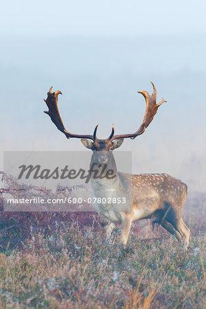 Portrait of Male Fallow Deer (Cervus dama) on Misty Morning, Hesse, Germany