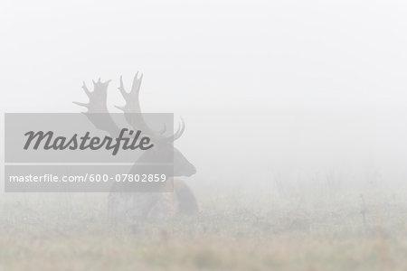Male Fallow Deer (Cervus dama) Lying Down on Misty Morning, Hesse, Germany