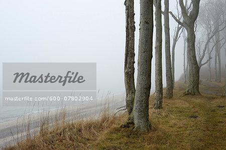 Coastal Beech Forest with Fog and Baltic Sea, Gespensterwald, Nienhagen, Bad Doberan, Western Pomerania, Germany