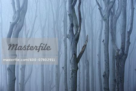 Coastal Beech Forest with Fog, Gespensterwald, Nienhagen, Bad Doberan, Western Pomerania, Germany