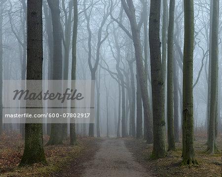 Coastal Beech Forest with Path and Fog, Gespensterwald, Nienhagen, Bad Doberan, Western Pomerania, Germany