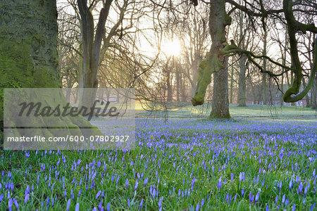 Crocus at Sunrise in Spring, Husum Schlosspark, Schleswig-Holstein, Germany