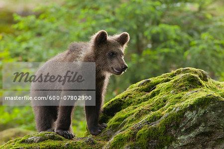 Brown Bear Cub (Ursus arctos), Bavarian Forest National Park, Bavaria, Germany