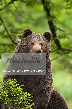 European Brown Bear (Ursus arctos arctos), Bavarian Forest National Park, Bavarian, Germany