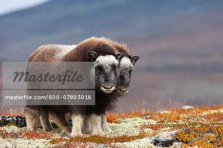 Young Muskoxes (Ovibos moschatus), Dovrefjell Sunndalsfjella National Park, Norway