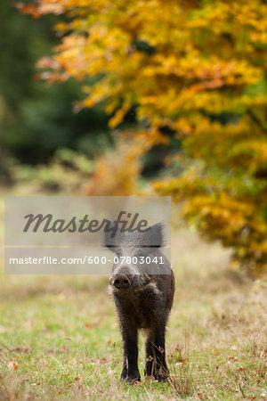 Portrait of young, Wild Boar (Sus scrofa), Germany