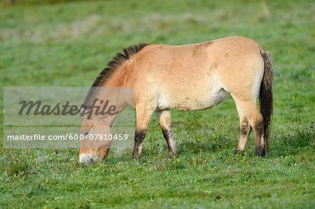 Przewalski's Horse (Equus ferus przewalskii) on Meadow in Autumn, Bavarian Forest National Park, Bavaria, Germany