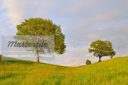 Meadow with Trees, Upper Bavaria, Bavaria, Germany