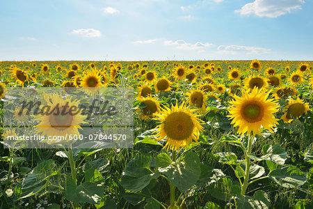 Sunflower Field in Summer, Helmstadt, Franconia, Bavaria, Germany
