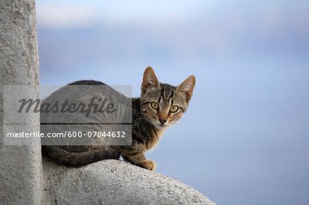 Portrait of Domestic Cat (Felis catus), Oia, Santorini, Greece
