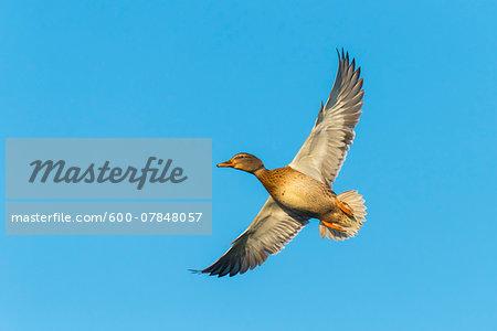 Mallard (Anas platyrhynchos), Female, flying against blue sky, Hesse, Germany, Europe