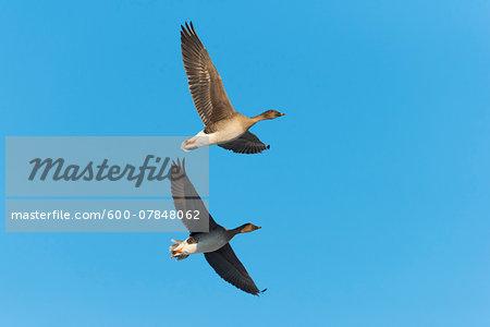 Bean Geese (Anser fabalis), flying against blue sky, Hesse, Germany, Europe