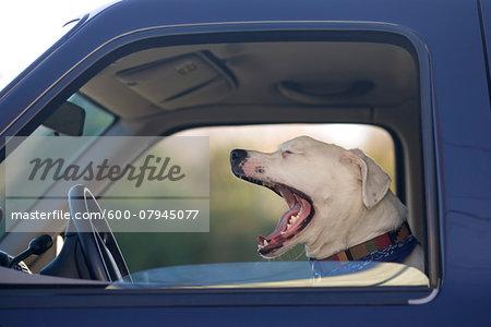 Close-up of dog yawning while inside a truck, USA