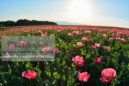 Opium Poppy Field (Papaver somniferum) with Morning Sun, Summer, Germerode, Hoher Meissner, Werra Meissner District, Hesse, Germany