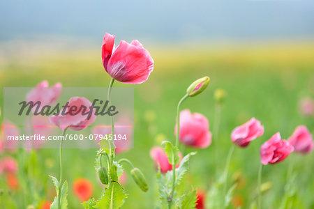 Close-up of Opium Poppies (Papaver somniferum) in field, Summer, Germerode, Hoher Meissner, Werra Meissner District, Hesse, Germany