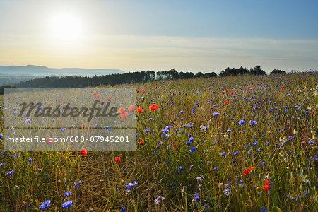 Corn Poppies (Papaver rhoeas) and Cornflowers (Centaurea cyanus) with Morning Sun, Summer, Germerode, Hoher Meissner, Werra Meissner District, Hesse, Germany