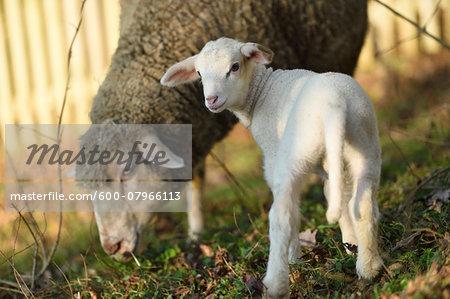 Ewe (Ovis orientalis aries) with Lamb on Meadow in Spring, Upper Palatinate, Bavaria, Germany