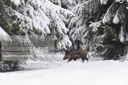 Wild Boar (Sus scrofa) Tusker, Spessart, Bavaria, Germany