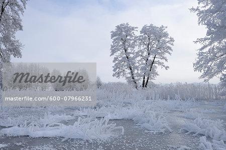 Landscape of Frozen Pond and Common Alder (Alnus glutinosa) Trees in Winter, Upper Palatinate, Bavaria, Germany