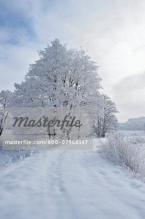 Landscape with Snowy Path beside Frozen Common Alder (Alnus glutinosa) Trees in Winter, Upper Palatinate, Bavaria, Germany