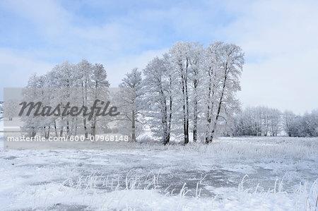Landscape with Frozen Common Alder (Alnus glutinosa) Trees in Winter, Upper Palatinate, Bavaria, Germany