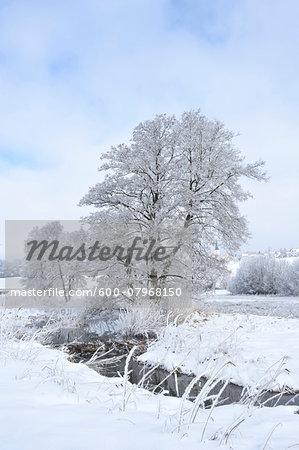 Landscape with Stream and Frozen Common Alder (Alnus glutinosa) Trees n Winter, Upper Palatinate, Bavaria, Germany