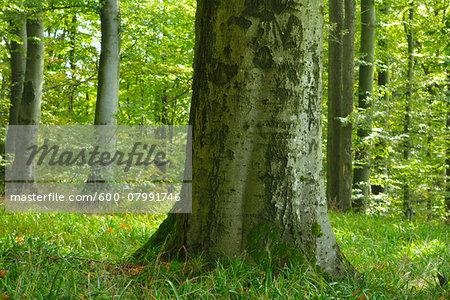 Close-up of Beech Tree in forest, Katzenbuckel, Waldbrunn, Baden Wurttemberg, Germany