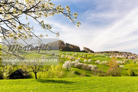 Cherry trees in bloom on pasture land, spring, Canton of Basel-Landschaft, Switzerland