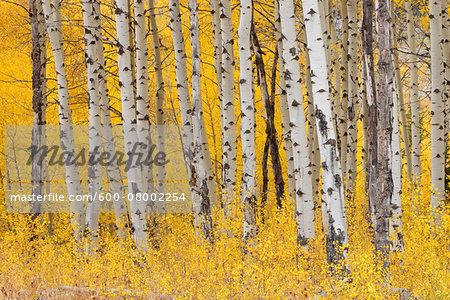 American Aspen Tree (Populus tremuloides) Trunks in Forest with Autumn Foliage. Grand Teton National Park, Jackson, Wyoming, USA