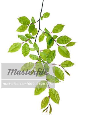 Branch of European Hornbeam (Carpinus betulus) with Fresh Foliage in Spring on White Background