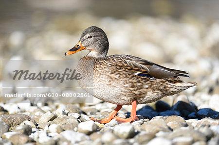 Close-up portrait of a mallard duck (Anas platyrhynchos) standing on rocky shore of Lake Grundlsee in winter, Styria, Austria