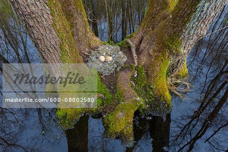 Bird-Nest with Eggs from Greylag goose (Anser anser) on moss covered tree trunks of black alders, Hesse, Germany