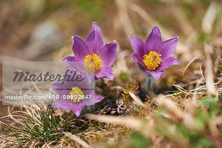 Close-up of a pasque flower (Pulsatilla vulgaris) flowering in spring, Bavaria, Germany