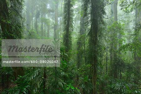 Rainforest, Dorrigo, Dorrigo National Park, New South Wales, Australia