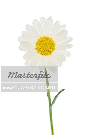 Ox-Eye Daisy (Leucanthemum vulgare) on White Background, Studio Shot