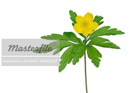 Yellow Wood Anemone (Anemone Ranunculoides) on White Background, Studio Shot