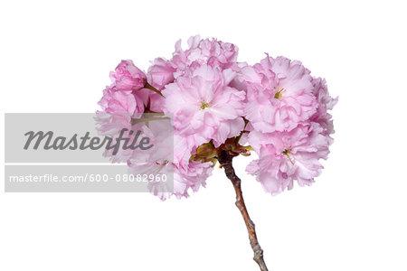 Japanese Cherry Blossom (Prunus serrulata) on White Background, Studio Shot