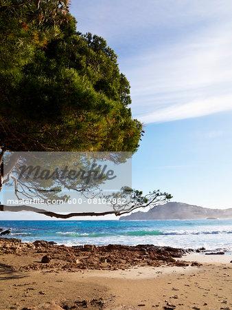 Sandy Beach with Pine Tree, Majorca, Balearic Islands, Spain