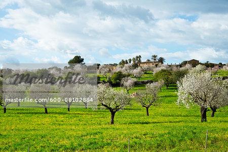 Blooming Almond Trees, Majorca, Balearic Islands, Spain