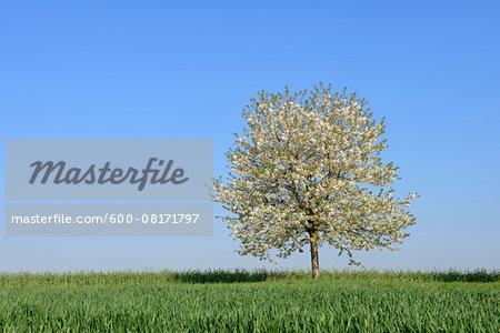 Cherry Tree in blossom in meadow, spring. Baden Wuerttemberg, Schwarzwald, Germany.