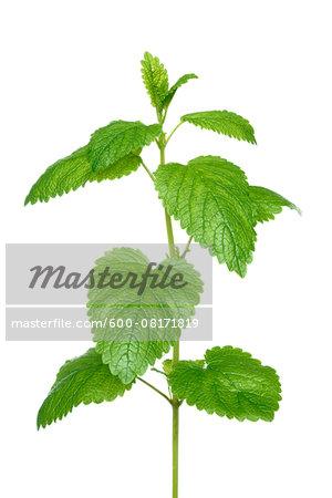 Close-up of Mint leaves on white background, studio shot on white backgroud.