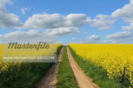 Dirt Tracks through Canola Field, Schmachtenberg, Spessart, Franconia, Bavaria, Germany