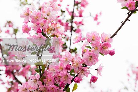 Close-up of Blooming Pink Cherry Tree, Senso-ji Temple, Asakusa, Taito-ku, Tokyo, Japan